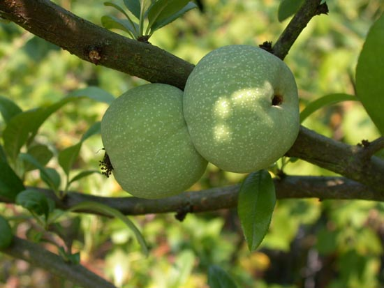 Chaenomeles a relaxing and strengthening fruit