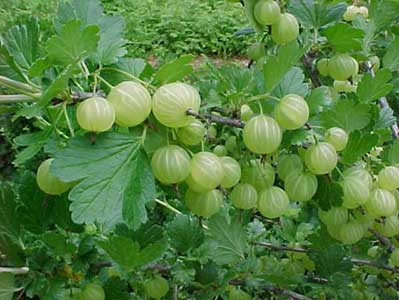 A branch of true gooseberries (Ribes spp.)