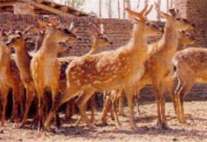 Sika deer farm in China