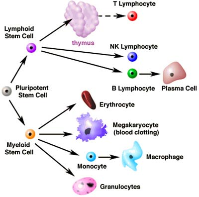 Diagram of stem cells leading to various blood lines