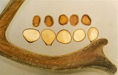 Sliced and whole antler
