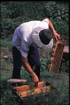 Chinese beekeeper tending the hive