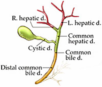 Illustration of bile duct network