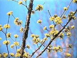 The cornus tree AKA: the Japanese dogwood or Japanese Cornelian cherry.