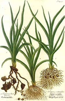 Artists drawing of three species of Cyperus