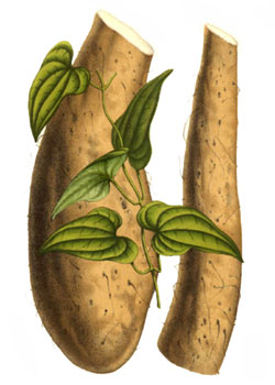 Dioscorea used in chinese medicine with the example of