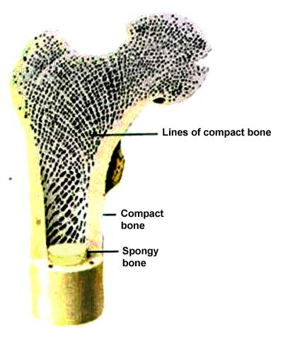 Cross section of the femoral head.