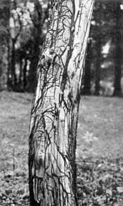 Trunk of a Scots pine killed by Armellaria fungus.