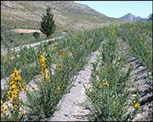Rows of honeybush in cultivation project