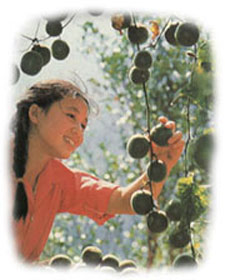 Picking fresh luohanguo