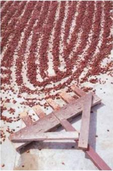 Beans carefully spread for drying
