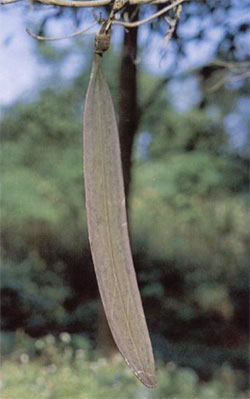 Oroxylum's seed pod hanging like the