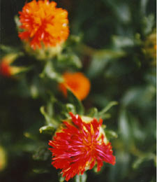 Mature safflower bloom in red