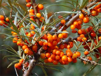 Sea buckthorn - Growing sea buckthorn ...