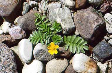 Silverweed in the ground