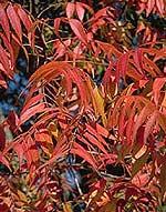 <I>Pistacia chinensis</I>, foliage
