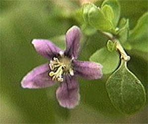 lycium flower