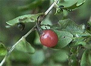 lycium berry
