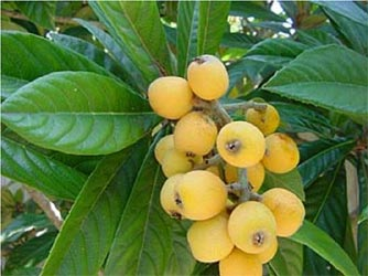 Loquat plant with fruit. Note the shape of the leaves