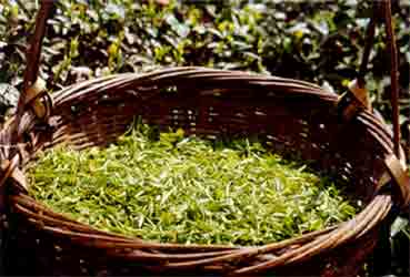 Freshly harvested Tian Mu Mountain tea